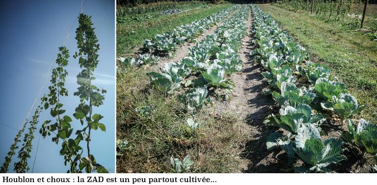 zad-houblon-et-choux-photo-valk